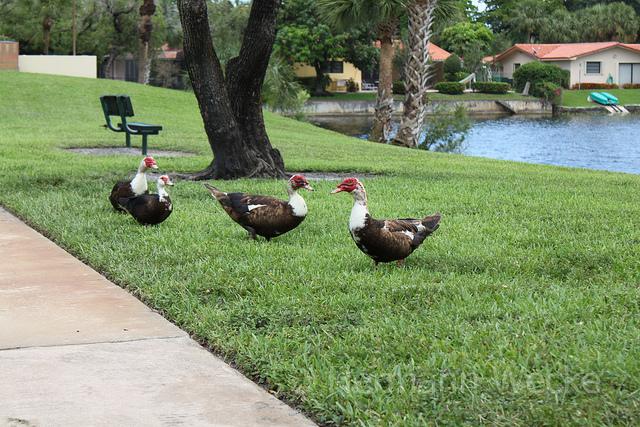 Perto da casa do Fernando, em Miami Lakes: patos passeiam junto ao canal.